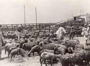 Libya Benghazi Sheep herd Shepherds old Photo 1940's?