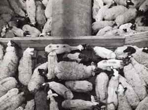 Libya Benghazi? Sheep herds Stock yards old Photo 1940's?