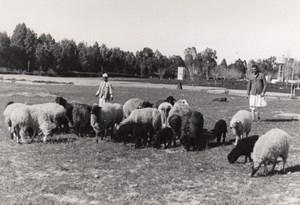 Libya Karakul sheep herd & Shepherd old Photo 1940's?