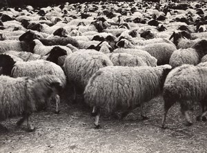 Libya Derna Sheep herd old Photo 1940's?