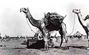 WWII Africa Camels Carrying Bricks for US Army Construction old Photo 1942
