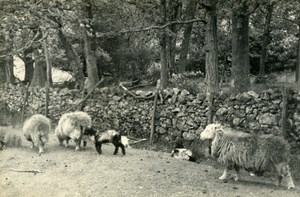 England Lake District Keswick Sheep Old Amateur Photo 1930