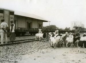 Africa Haute Volta Ouagadougou Goats Old Photo Sarr Cheick 1960