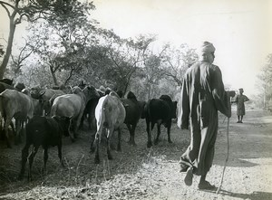 Africa Benin Cow Herd Countryside Old Photo René Corpel 1960