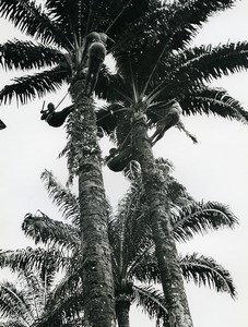 Africa Ivory Coast Picking Palm Tree Seeds Old Photo 1960