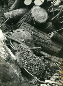 France Hedgehog on a pile of wood logs Old Photo Eve Heymann 1960