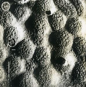 France Macrophotography Bacillus of the Flu Influenzae Old Photo 1960