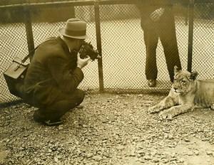 Royaume Uni Photographe au Zoo de Londres Lion Lionne Ancienne Photo 1930