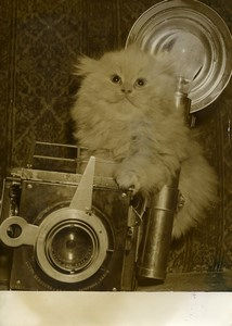 France Chat Persan Photographe Exposition Feline Ancienne Photo 1950