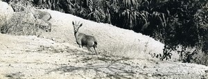 Israel Amiram Little Israeli Boy Young Deer? Old Photo Francis Maziere 1969