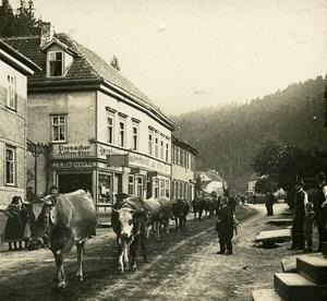 Friedrichroda Herd of Cows Germany Old Stereo Photo 1900