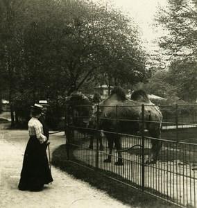 Germany Hamburg Zoological Garden Camel Old NPG Stereoview Photo 1900