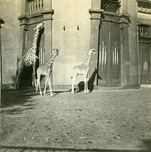 Belgium Antwerp Zoological Garden Old Stereoview Photo Possemiers 1900