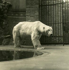 Germany Berlin Zoological Garden White Bear old Stereoview Photo NPG 1900