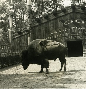 Germany Berlin Zoological Garden Bison old Stereoview Photo NPG 1900