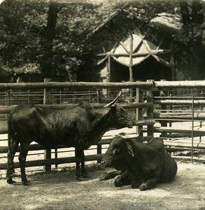 Germany Berlin Zoological Garden Sanga cattle old Stereoview Photo NPG 1900