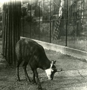 Germany Berlin Zoological Garden Rupicapra old Stereoview Photo NPG 1900