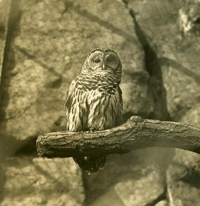 Germany Berlin Zoological Garden Owl old Stereoview Photo NPG 1900