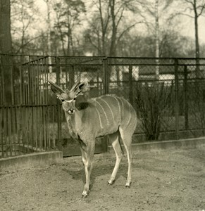 Germany Berlin Zoological Garden Greater kudu old Stereoview Photo NPG 1900