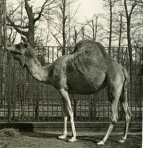 Germany Berlin Zoological Garden Camel old Stereoview Photo NPG 1900