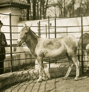 Germany Berlin Zoological Garden Persian Donkey old Stereoview Photo NPG 1900