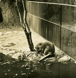 Germany Berlin Zoological Garden Elbe Beaver old Stereoview Photo NPG 1900