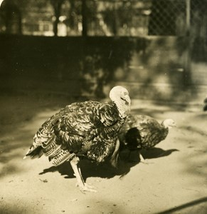 Germany Berlin Zoological Garden Turkey old Stereoview Photo NPG 1900