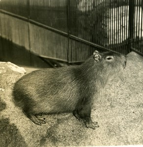 Germany Berlin Zoological Garden Capybara old Stereoview Photo NPG 1900