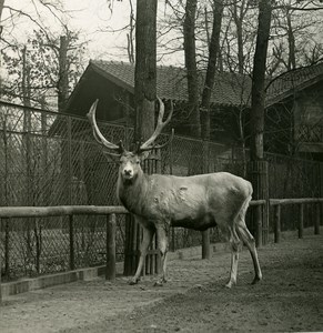 Germany Berlin Zoological Garden Deer old Stereoview Photo NPG 1900