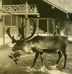 Germany Berlin Zoological Garden Reindeer old Stereoview Photo NPG 1900