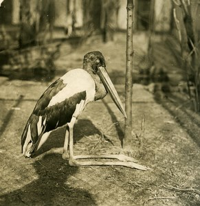 Germany Berlin Zoological Garden Xenorhynchus old Stereoview Photo NPG 1900
