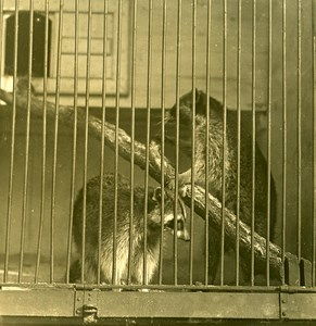 Germany Berlin Zoological Garden Raccoon old Stereoview Photo NPG 1900