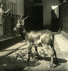 Germany Berlin Zoological Garden Kob Antelope old Stereoview Photo NPG 1900