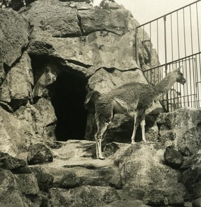 Germany Berlin Zoological Garden Guanaco old Stereoview Photo NPG 1900