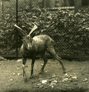 Germany Berlin Zoological Garden Markhor Mischlinge Stereoview Photo NPG 1900