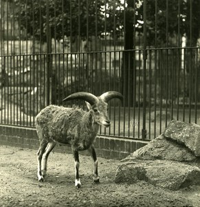 Germany Berlin Zoological Garden Natural Sheep old Stereoview Photo NPG 1900