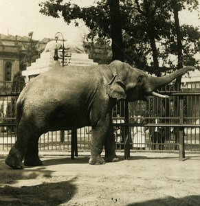 Germany Berlin Zoological Garden Elephant old Stereoview Photo NPG 1900