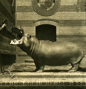 Germany Berlin Zoological Garden Hippopotamus old Stereoview Photo NPG 1900