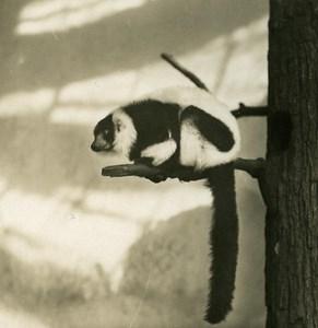 Germany Berlin Zoological Garden ruffed lemur old Stereoview Photo NPG 1900