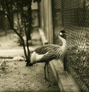 Germany Berlin Zoological Black Crowned Crane Old Stereoview Photo NPG 1900