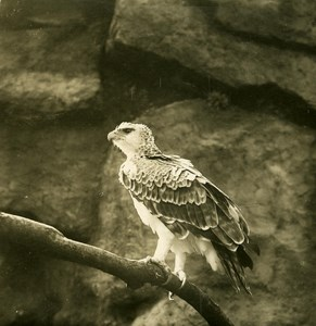 Germany Berlin Zoological Garden Martial Eagle old Stereoview Photo NPG 1900