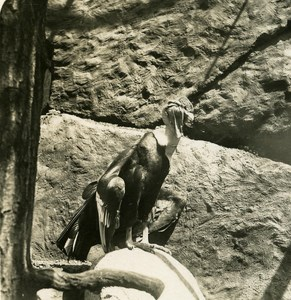 Germany Berlin Zoological Garden Condor old Stereoview Photo NPG 1900