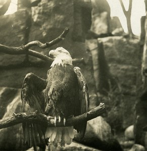 Germany Berlin Zoological Garden Sea Eagle old Stereoview Photo NPG 1900