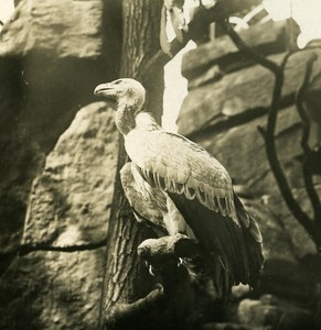 Germany Berlin Zoological Garden Himalayan Vulture Stereoview Photo NPG 1900