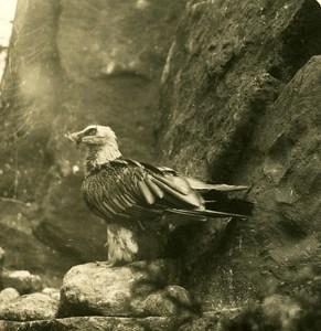 Germany Berlin Zoological Garden Bearded Vulture Stereoview Photo NPG 1900
