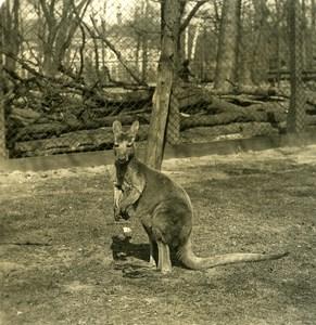 Germany Berlin Zoological Garden Kangaroo old Stereoview Photo NPG 1900