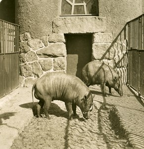 Germany Berlin Zoological Garden Babirusa old Stereoview Photo NPG 1900