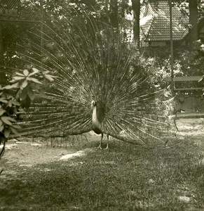 Germany Berlin Zoological Garden Peacock old Stereoview Photo NPG 1900