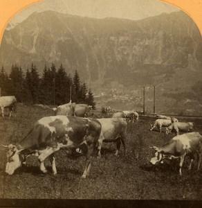 Switzerland Alps Grütschalp View of Wengen Cows old Gabler Stereo Photo 1885