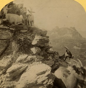 Switzerland Alps Goats Ziegen old Gabler Stereo Photo 1885